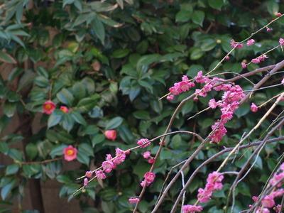 紅梅×寒椿