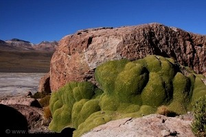 7893118-yareta-or-llajeta-in-spanish-on-el-tatio-landscape