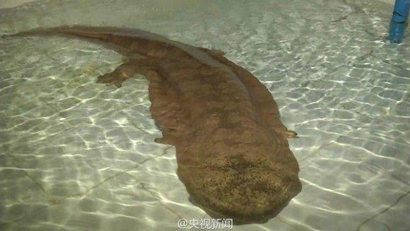 中国で発見されたオオサンショウウオ1