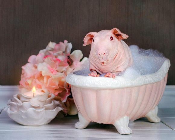 モルモットの」入浴1