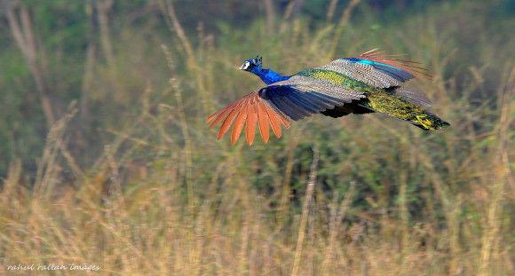 孔雀の飛行10