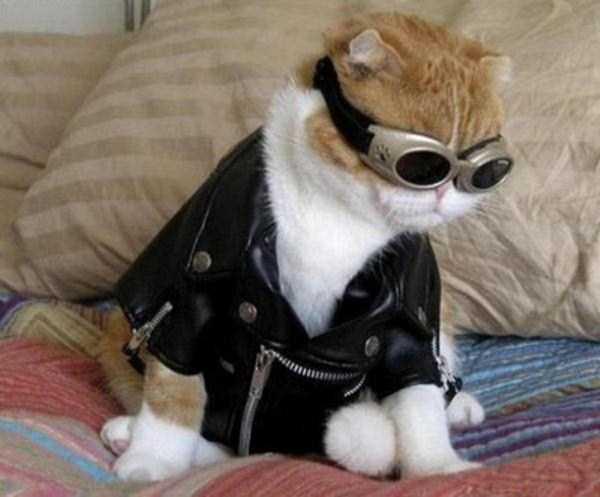 3コスチュームをした猫