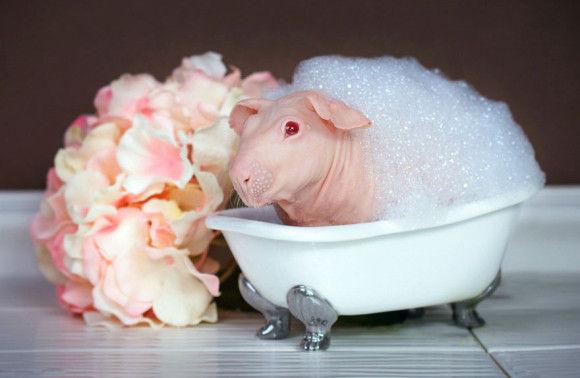 モルモットの」入浴3