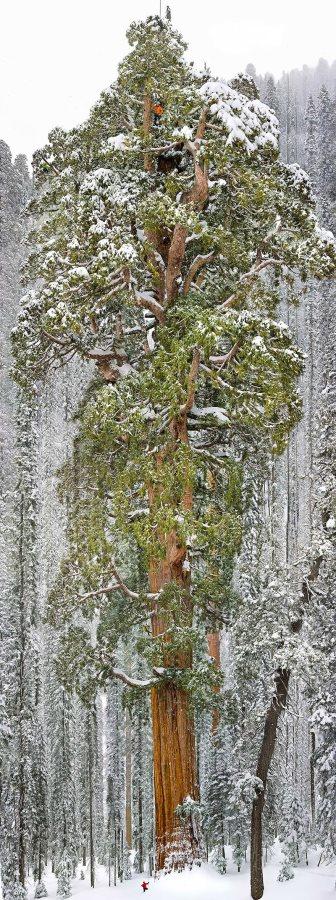 地球上でもっとも凄い木11