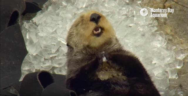 s_間違って氷を食べるラッコ6