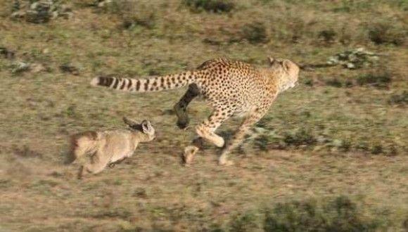 チーターが逃げる