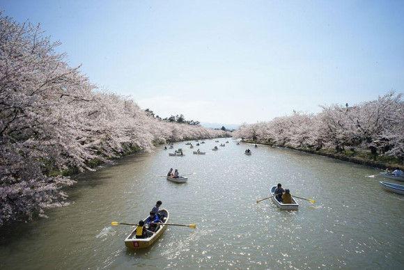日本の桜5