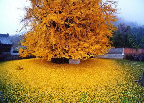 1400歳のイチョウの木が凄い2