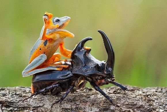 カブトムシに乗るカエル