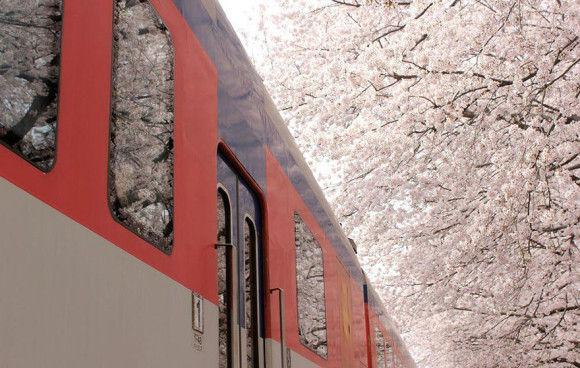 日本の桜8