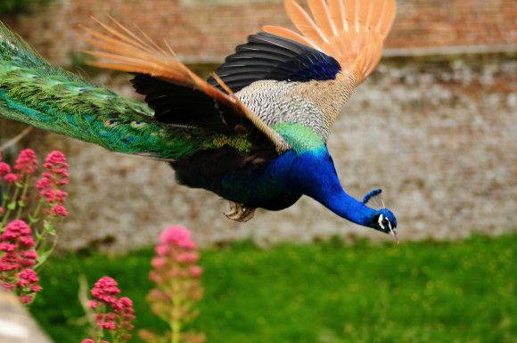 孔雀の飛行8