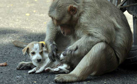 サルが犬を保護5