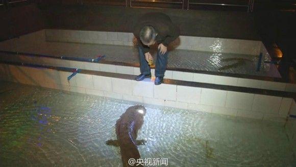 中国で発見されたオオサンショウウオ5