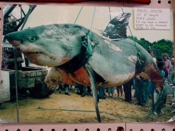 化け物サメ8