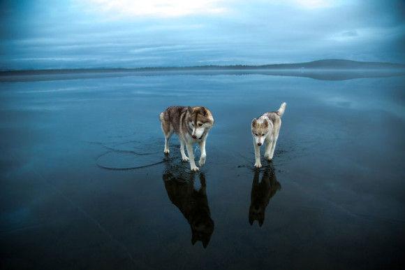 氷の上を歩くシベリアンハスキー10