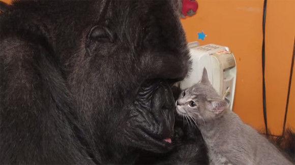 ゴリラが子猫を可愛がる3