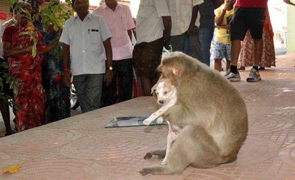 サルが犬を保護8