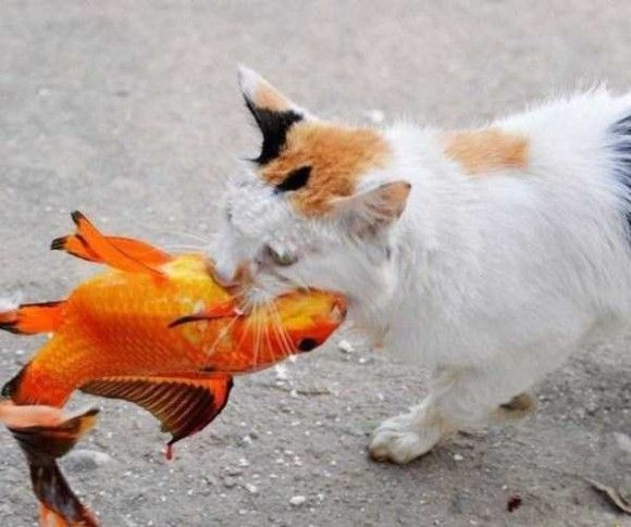 金魚VSネコ9
