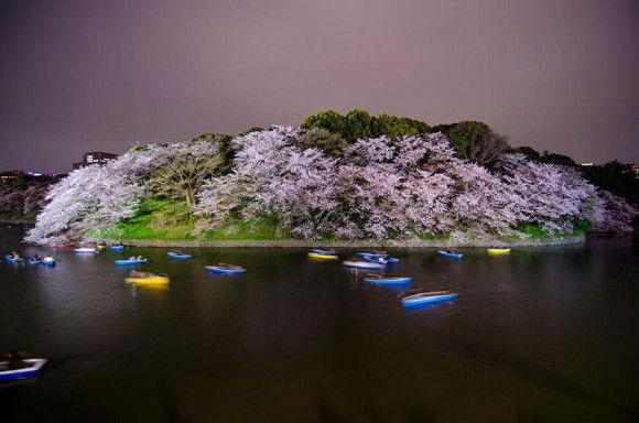 日本の桜15