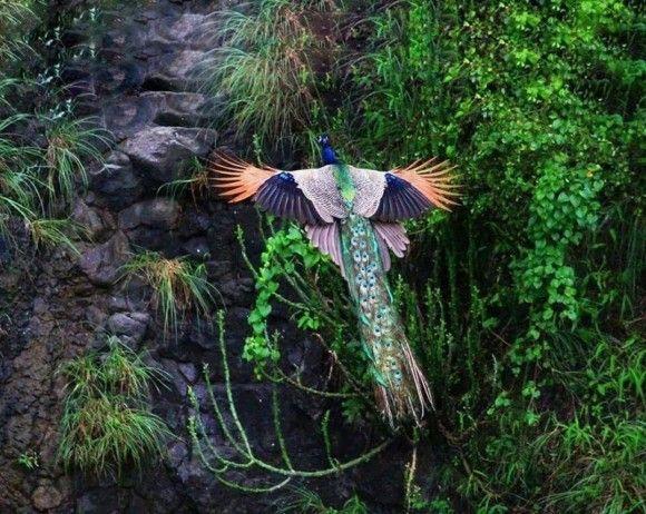 孔雀の飛行2
