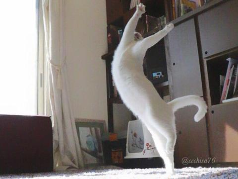 バレエを踊る猫7