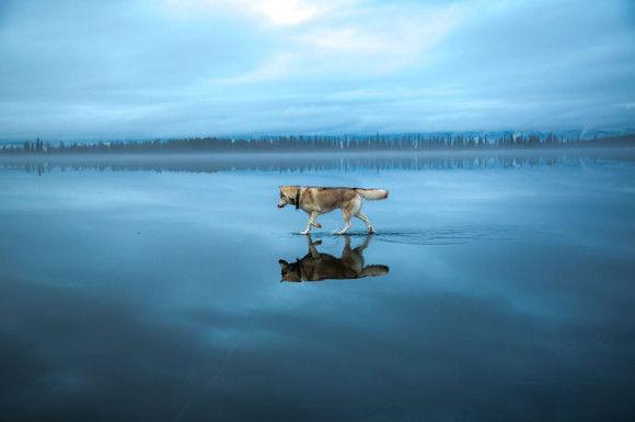 氷の上を歩くシベリアンハスキー13