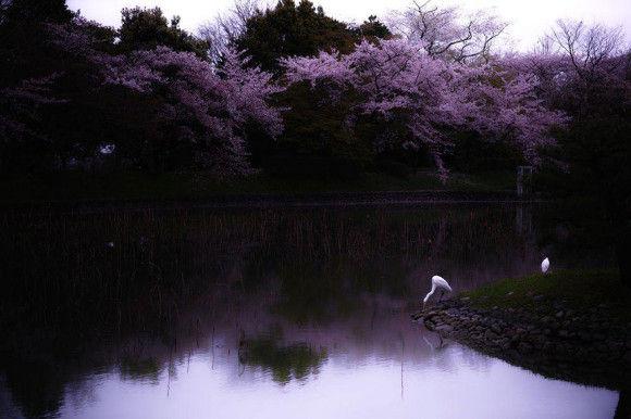 日本の桜7