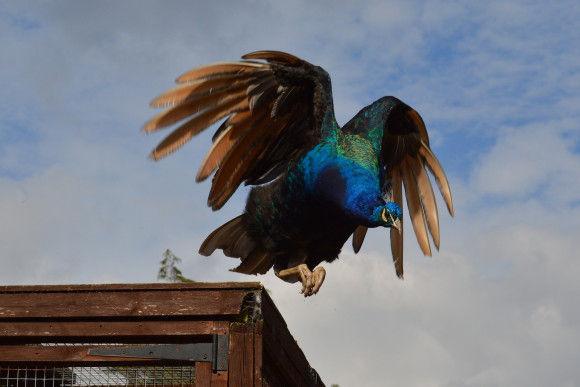 孔雀の飛行7