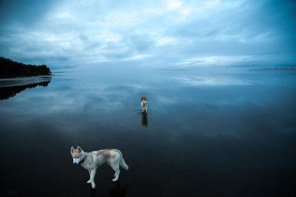 氷の上を歩くシベリアンハスキー11