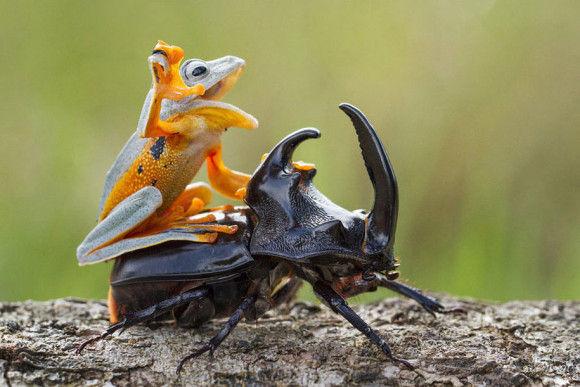 カブトムシに乗るカエル2