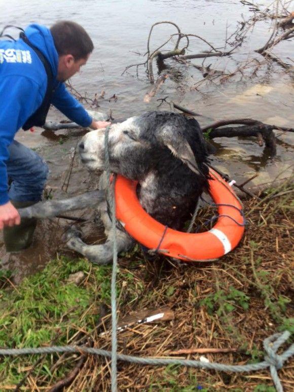 洪水から救出されたロバ5