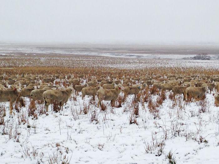 550頭の羊を見つけることが出来るか?4