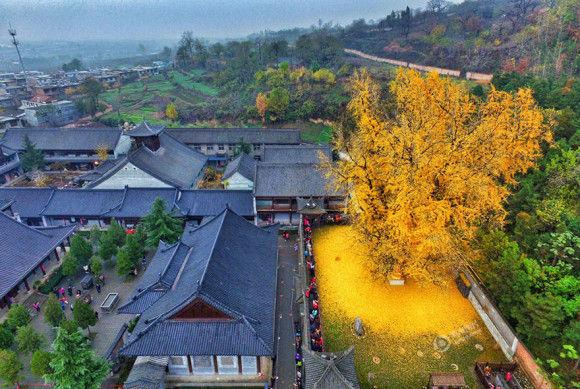 1400歳のイチョウの木が凄い1
