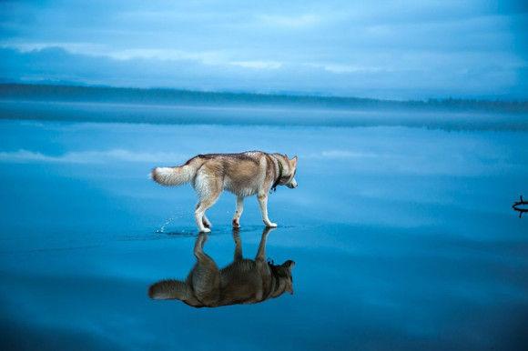 氷の上を歩くシベリアンハスキー3