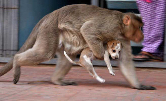 サルが犬を保護4