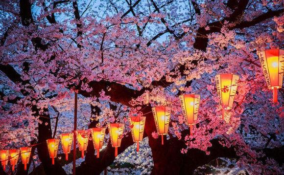 日本の桜4