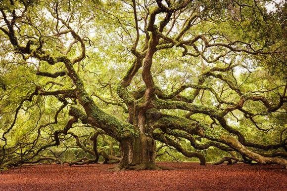 地球上でもっとも凄い木8