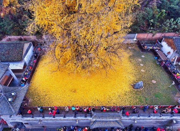 1400歳のイチョウの木が凄い4