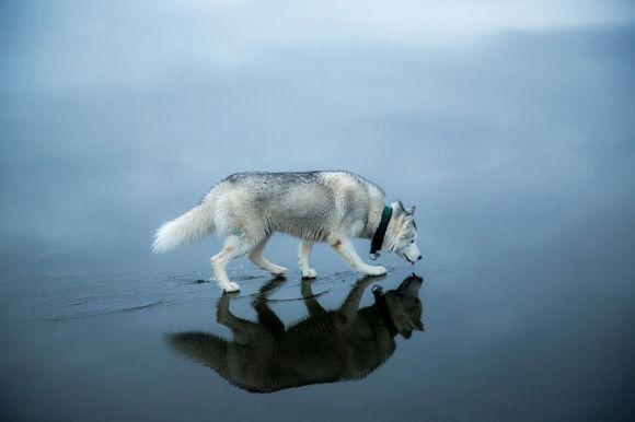 氷の上を歩くシベリアンハスキー6