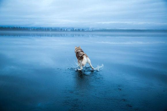 氷の上を歩くシベリアンハスキー12