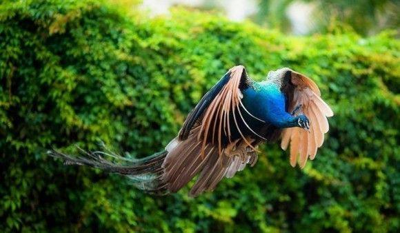 孔雀の飛行4