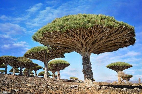 地球上でもっとも凄い木10