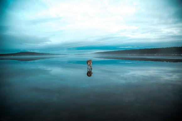 氷の上を歩くシベリアンハスキー7