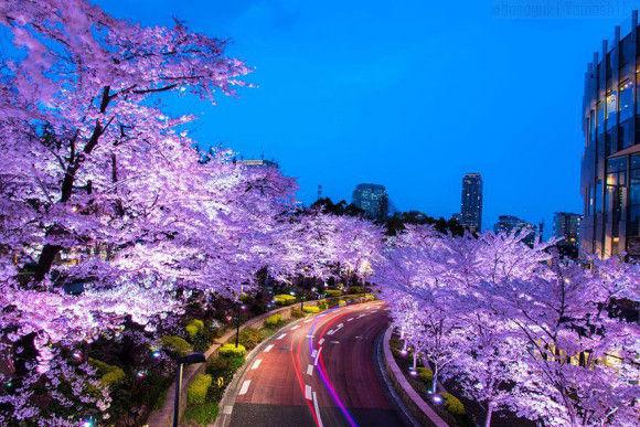 日本の桜6