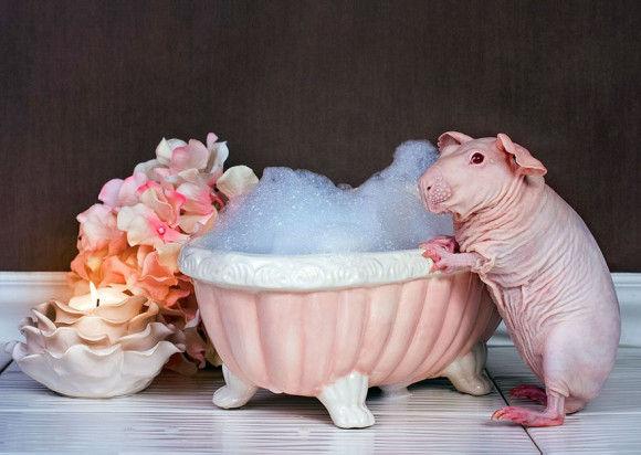 モルモットの」入浴