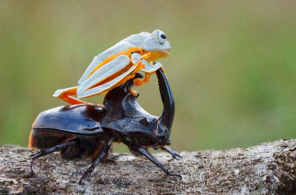 カブトムシに乗るカエル8