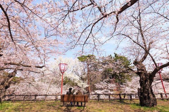 日本の桜11
