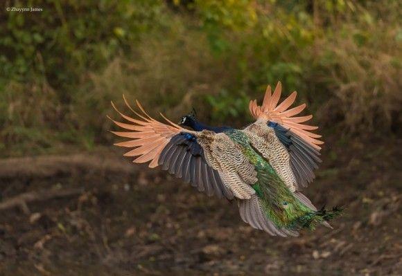 孔雀の飛行11