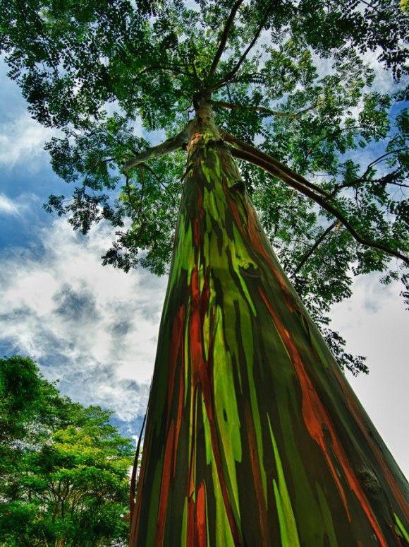 地球上でもっとも凄い木13