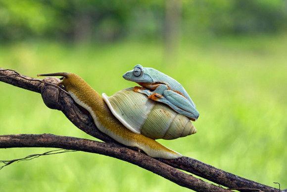 カタツムリの背中に乗ったカエル2